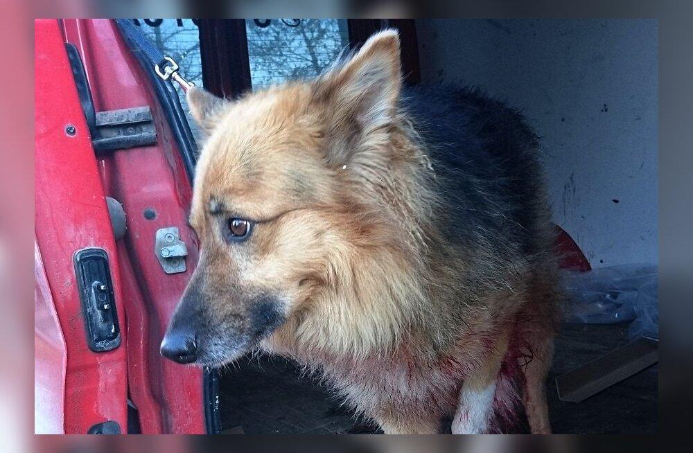 Lõuna-Eesti metsadest leiti puu külge kinni seotud vigastatud koer