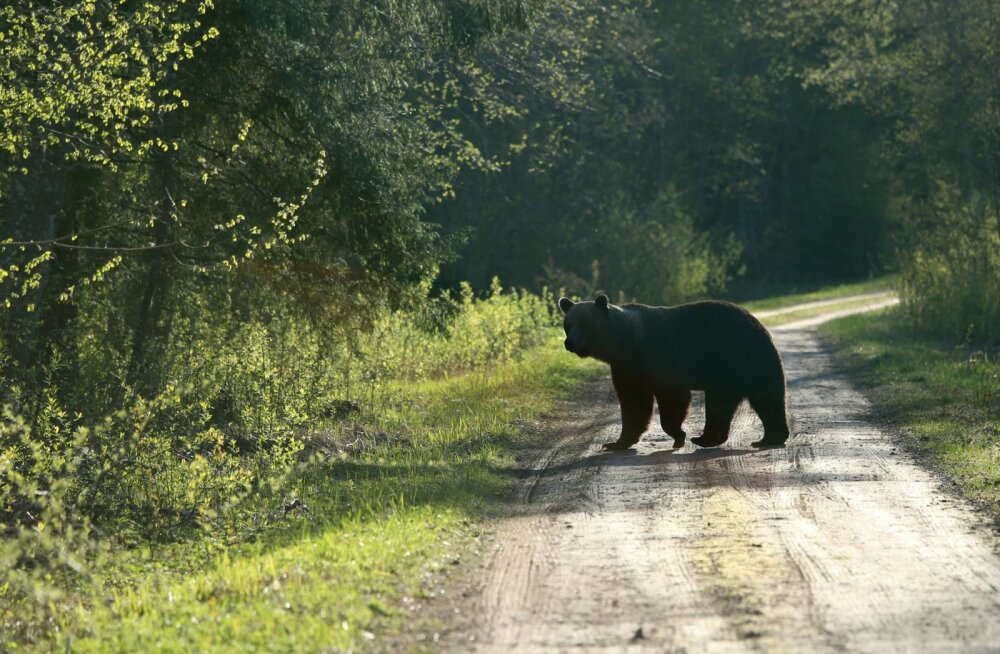 """Järvamaal tuli metsast esmalt üks väike mõmmik ja siis emakaru. Teel jalutanud Piret Eensoo jõudis õigel ajal kaamera haarata ja liikumise pildile saada. """"Ärevust tundsin peamiselt seepärast, et kas saan ikka karu pildistatud, mitte hirmust,"""" märkis ta. Metsatalu elanikele pole loomade nägemine imeasi, kuid päris nii lähedalt pole karuga varem kokkusattumist olnud."""