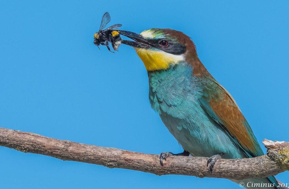 Mesilasenäppide põhja suunas levimisega on muutunud ka nende rändetee