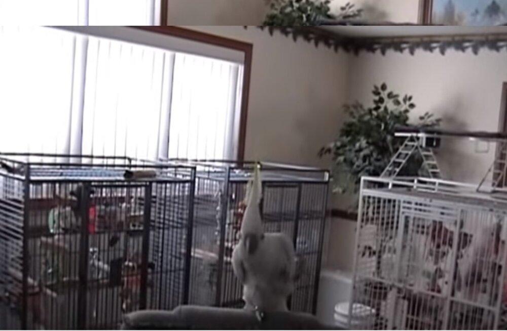 LUSTAKAD VIDEOD | 14 ainulaadset tantsusammu leiutanud papagoi keerutab retrohittide taustal lõbusalt jalga