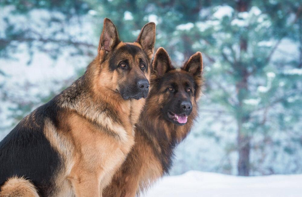 Seitse olulist asja, mida vanema koera tervise juures jälgima peaks