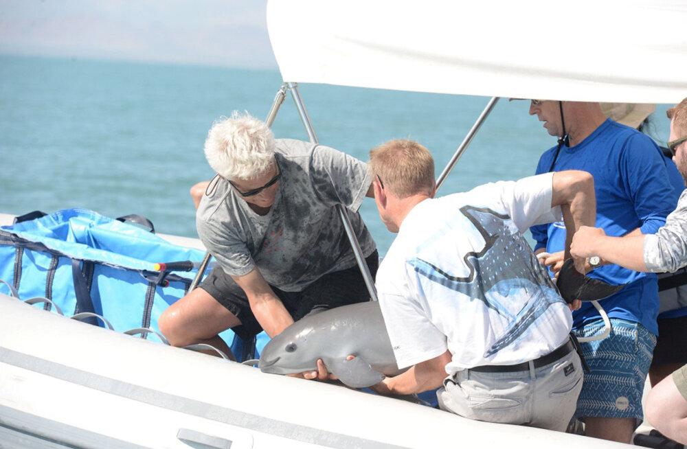 Maailma haruldasima mereimetaja päästjaid tabas tagasilöök: kinnipüütud emasloom hukkus vangistuses