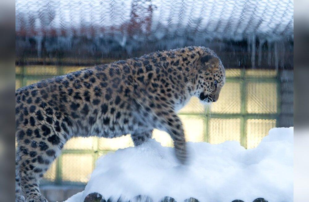Amuuri lumeleopardi kutsikad mõnulevad lumel nagu liivarannal