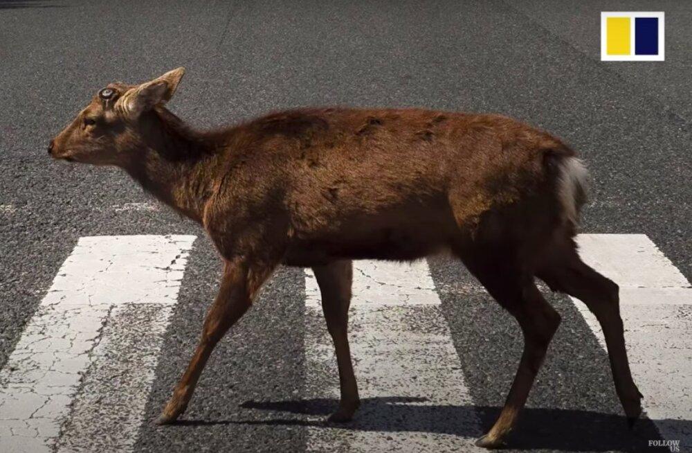 TURISTI ASEMEL   Vaata, millised loomad naudivad linnaelu võlusid nüüd, kui inimloom on taandunud