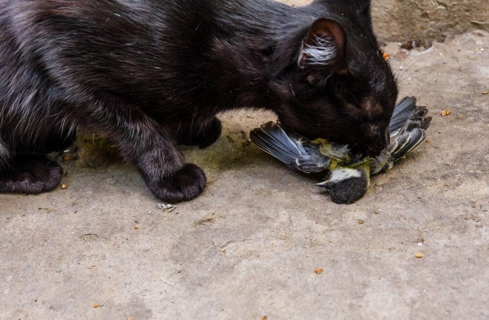 Tartu ülikooli teadur: Eesti kassid on lindude suhtes eriti julmad just suve hakul