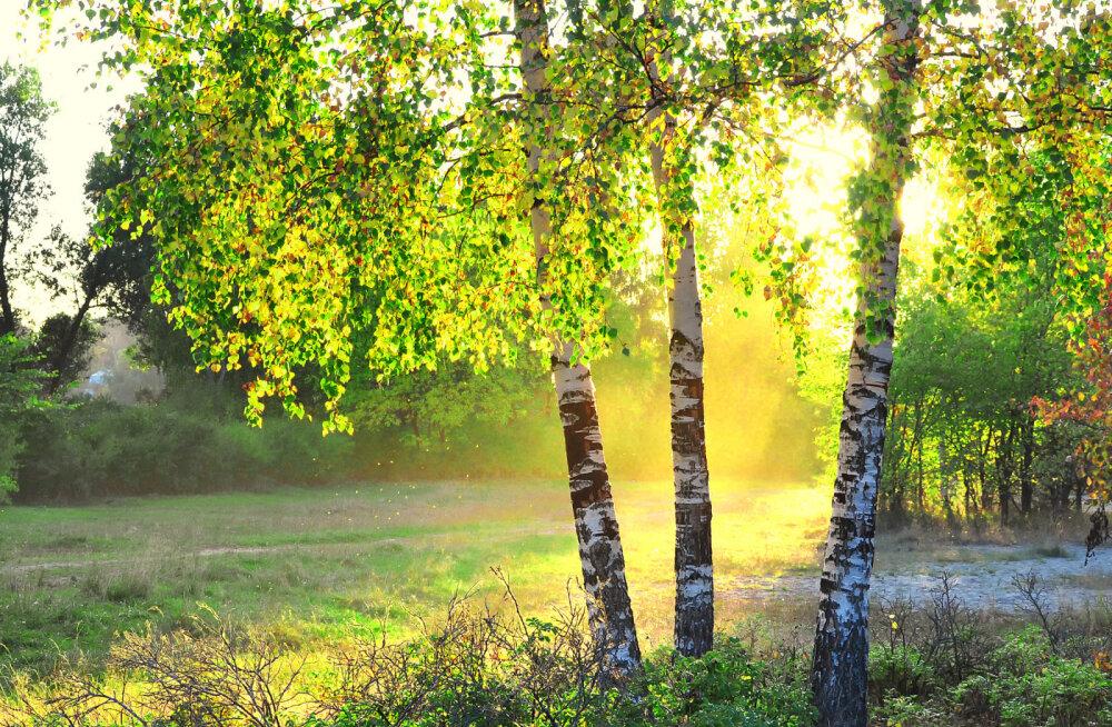 Kask - positiivse energiaga puu, mis pakub kaitset ja lohutust