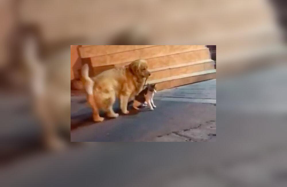 VIDEO   Rahusobitajast koer lõpetab kassidevahelise võimuvõitluse veel enne, kui see õieti alatagi jõuaks