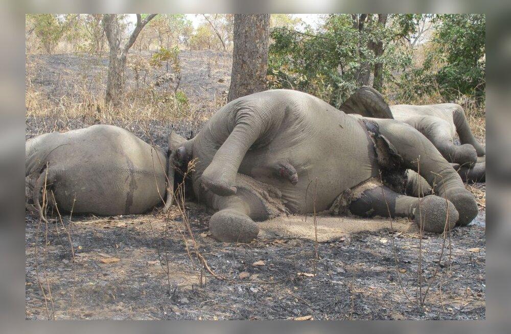 Salakütid teevad elevantide kallal tõsist hävitustööd