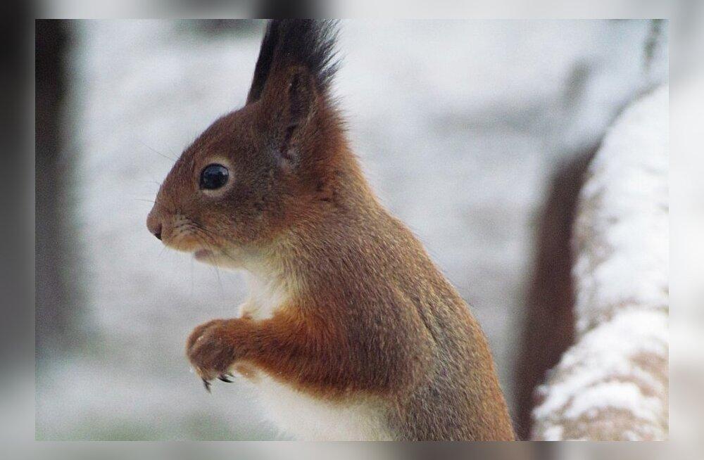PÄEVAPILT: Orav osales ka linnuvaatlusel