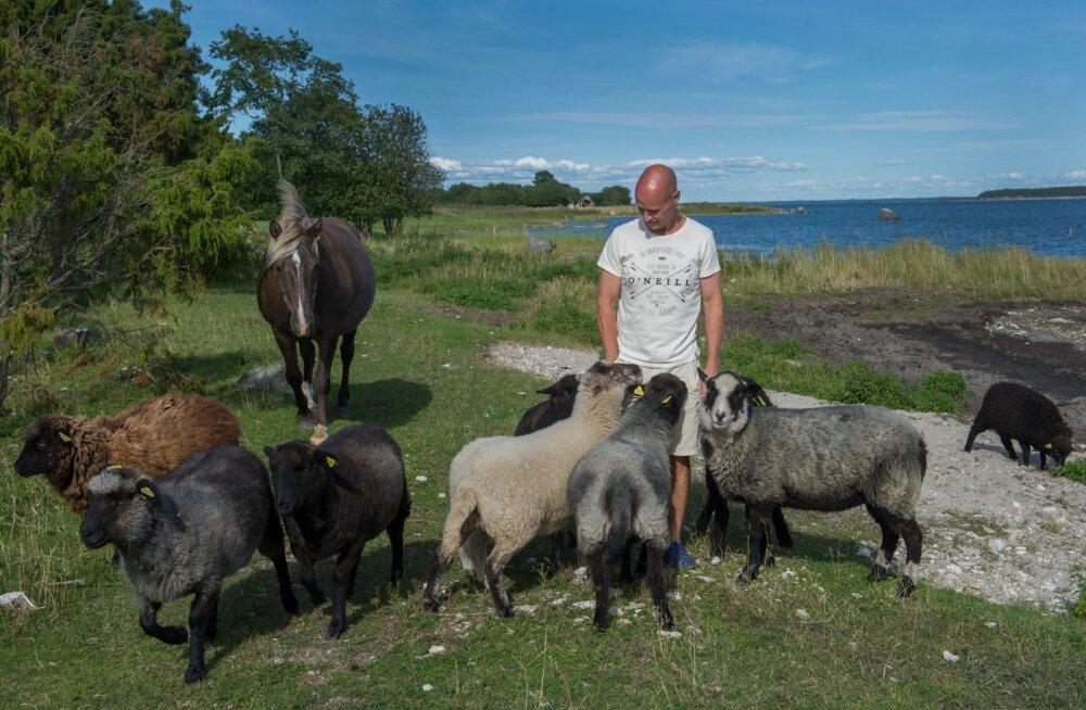 Lalli Tooma mahetalu lambad naudivad iga päev värsket mereõhku ja rannaniidu rohtu. Talu lambaliha jõuab peagi kohalikku poodi müügile.