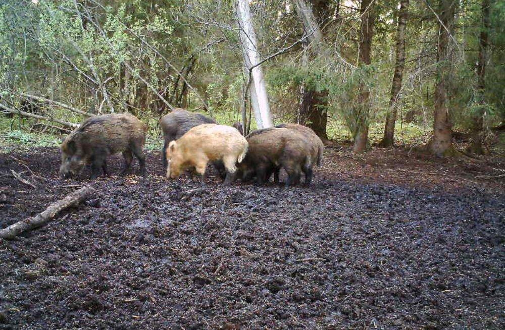 FOTO | Viljandimaa valge metssiga näitas end taas