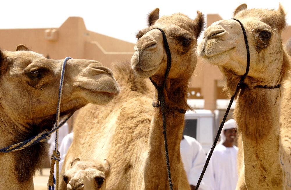 Kuidas osta parimat kaamelit