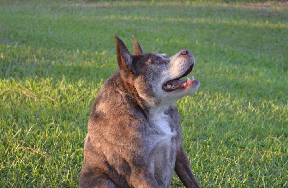 Vaata, mis võib juhtuda, kui koerte tõuaretus soss-seppade kätte usaldada