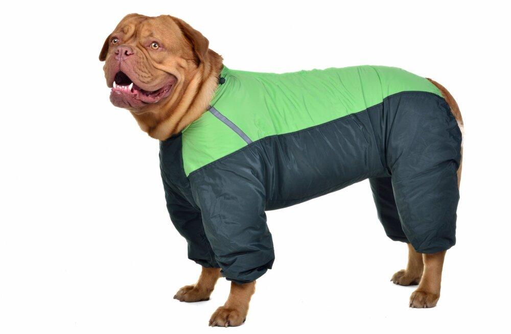 Külma ilma ABC | ekspert annab nõu, miks ja kuidas koera riietada