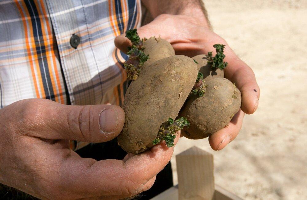 Kalle Hamburg, etteidandatud seemnekartul, kartul