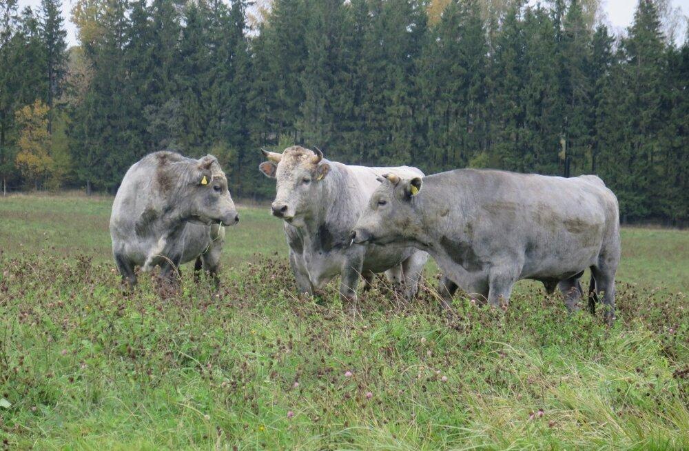 Cīruļi loomaaias paljundatakse ka Läti haruldast sinist veisetõugu.