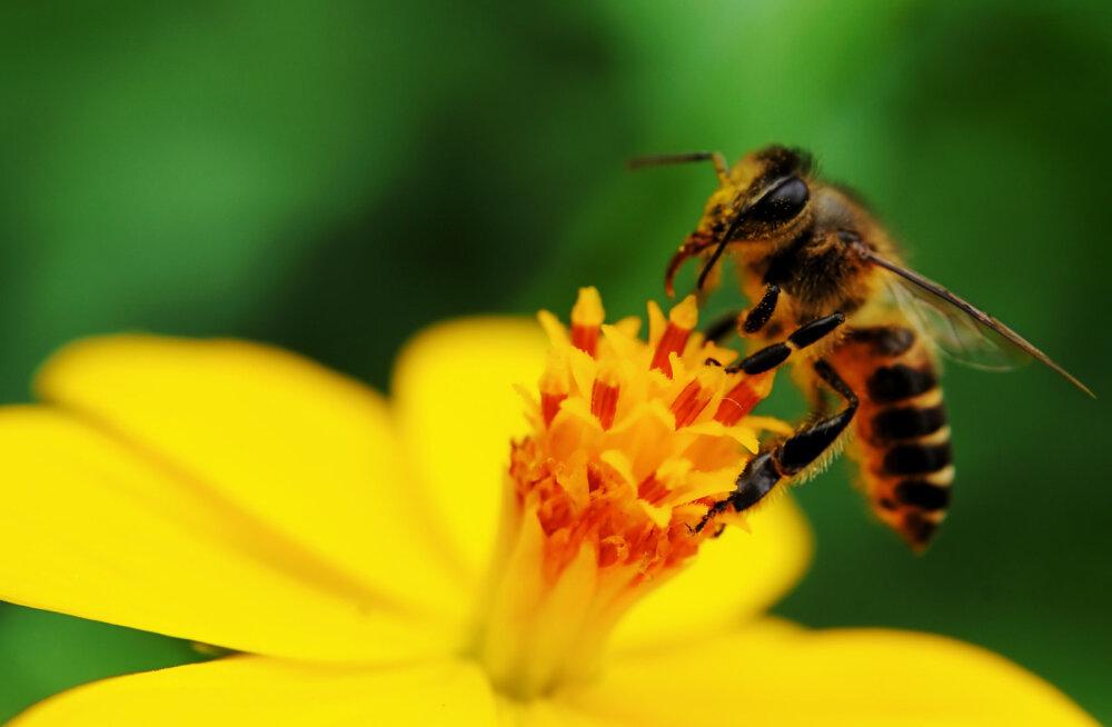 Teadlased on avastanud mesilaste massilise hukkumise põhjustaja ja olukord on arvatust halvem