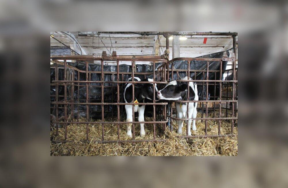 Maaülikoolis kehavälise viljastamise ja embrüosiirdamise järel sündinud esimene lehmavasikas (vasakul). Nime väiksel loomakesel veel ei ole.
