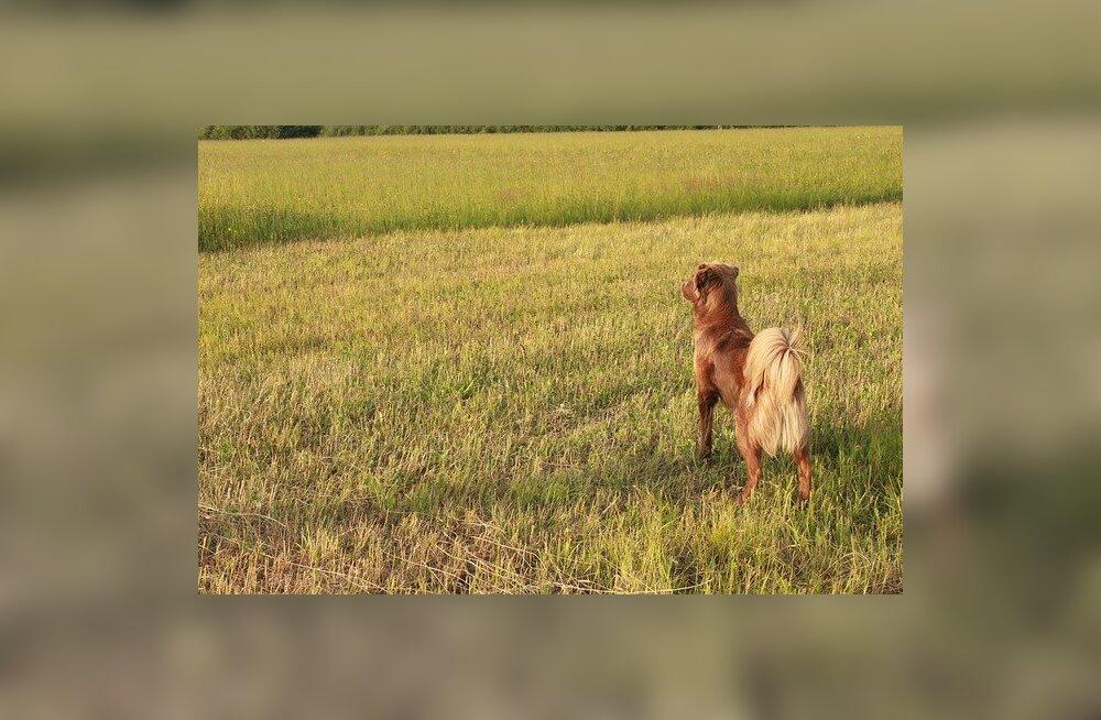 Koerte kehakeel: mida koer saba abil ütleb?