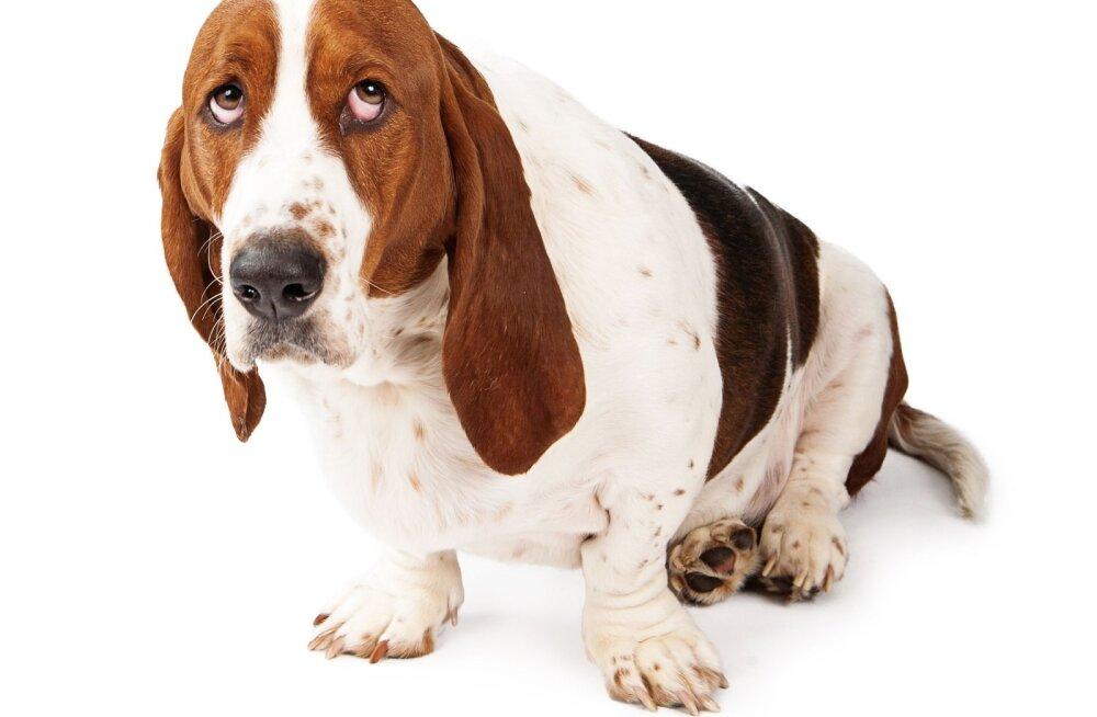 Purustame valeväited: 14 laialdaselt levinud müüti koerte käitumise kohta