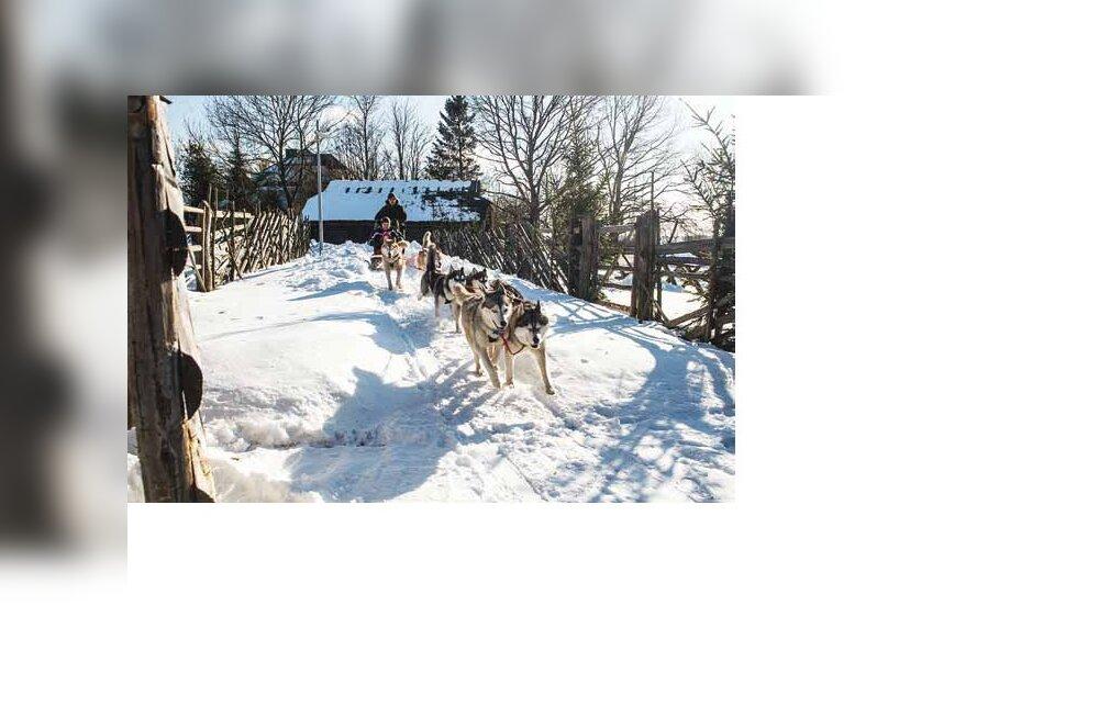 Kelgukoerad ootavad lund: siberi huskyde põnev maailm