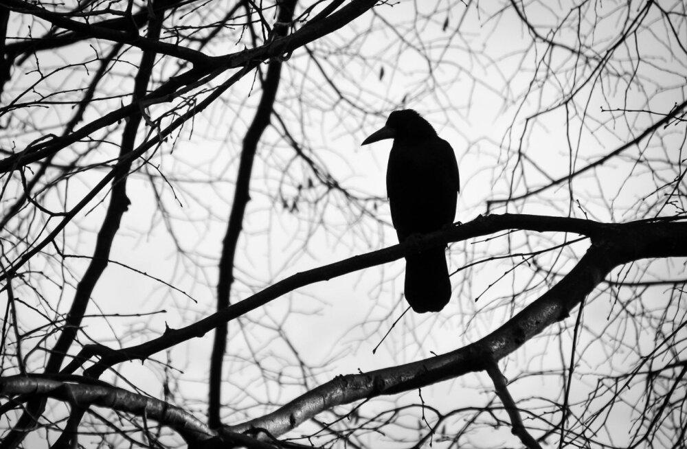Ornitoloog Tarvo Valker: Haapsalu surnuaia lindude kummalise käitumise taga võib olla mitmeid põhjuseid