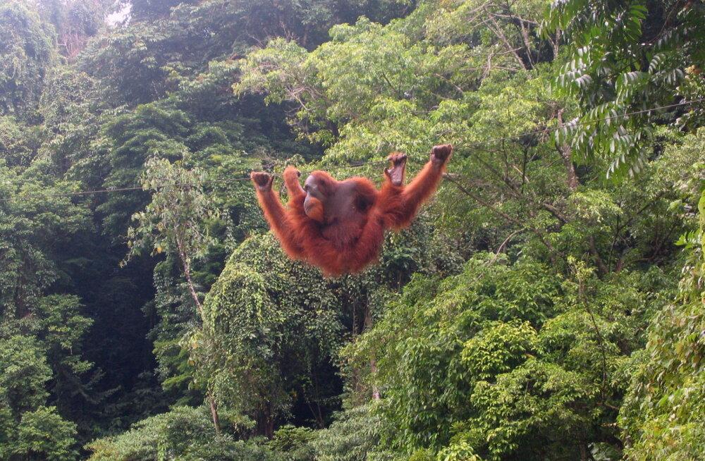 Metsaraiumine ähvardab välja suretada enamiku primaatidest