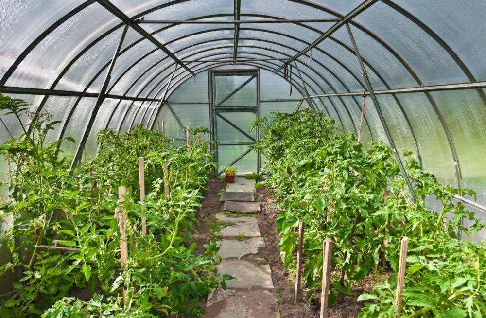 Ka kasvuhoones on vajalik viljavaheldus.