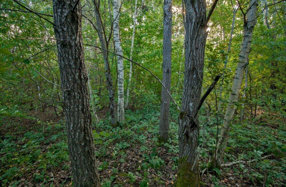 Hooldatud ja hooldamata mets Tartu mnt. ümbruses.