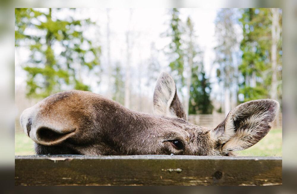 Elistvere loomapargi suveööde eriprogramm: huvilised saavad ka tänavu ööpimeduses metsloomi uudistada