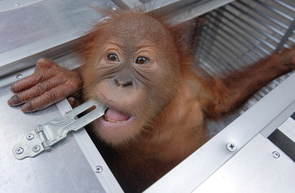 Venelane üritas Balilt orangutani varastada