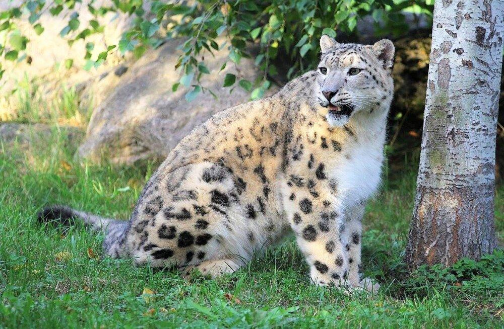 ÜRITUS | Pühapäeval tähistatakse loomaaias rahvusvahelist lumeleopardipäeva