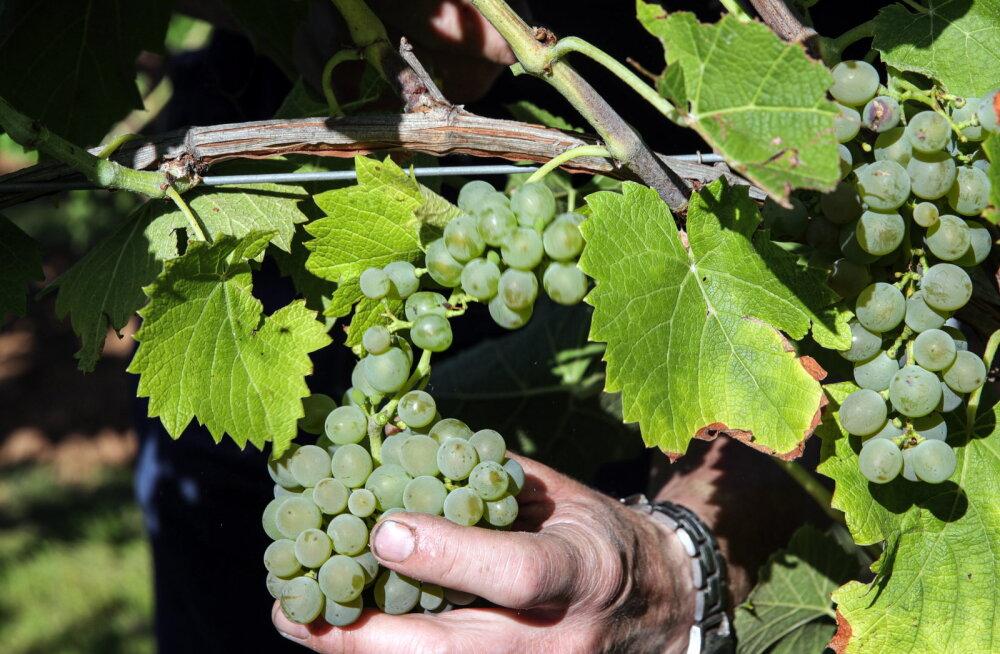 Muutlik ilm mõjub laastavalt Euroopa veinipiirkondadele