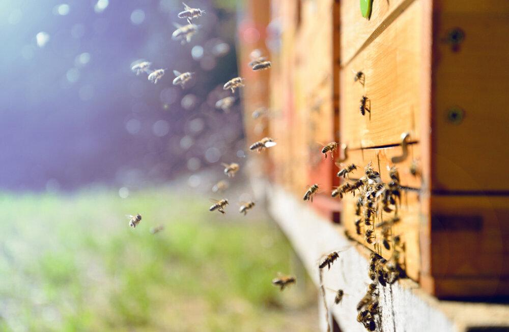 Riik hakkab toetama mesilaspere pidajaid