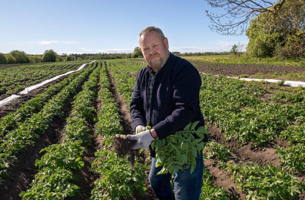 Скоро на рынках появится молодой эстонский картофель. Но стоить он будет немало