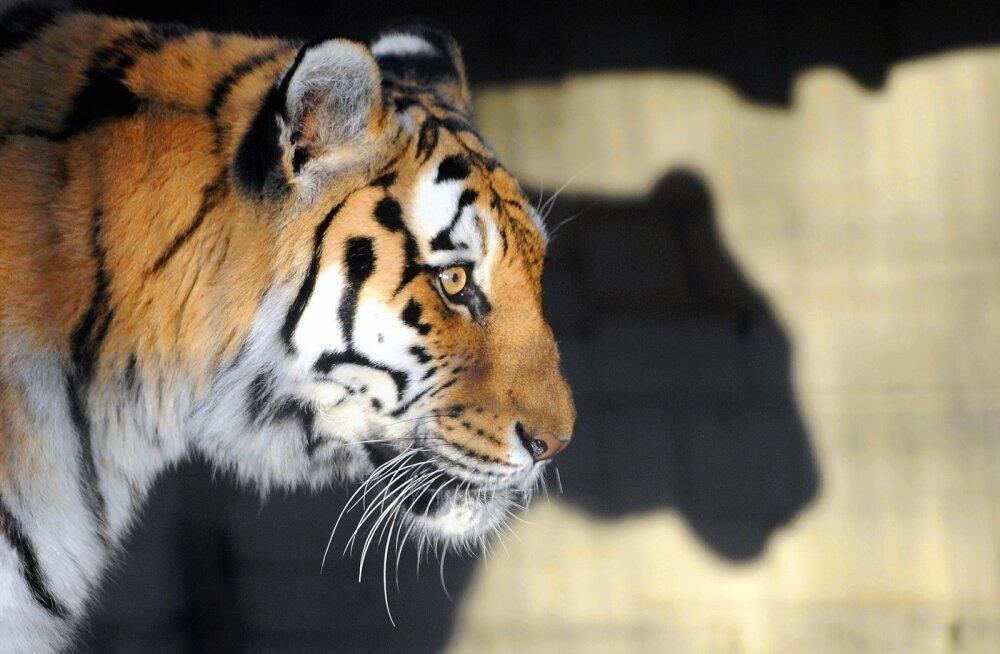 Кто такие родители-тигры и как они воспитывают детей