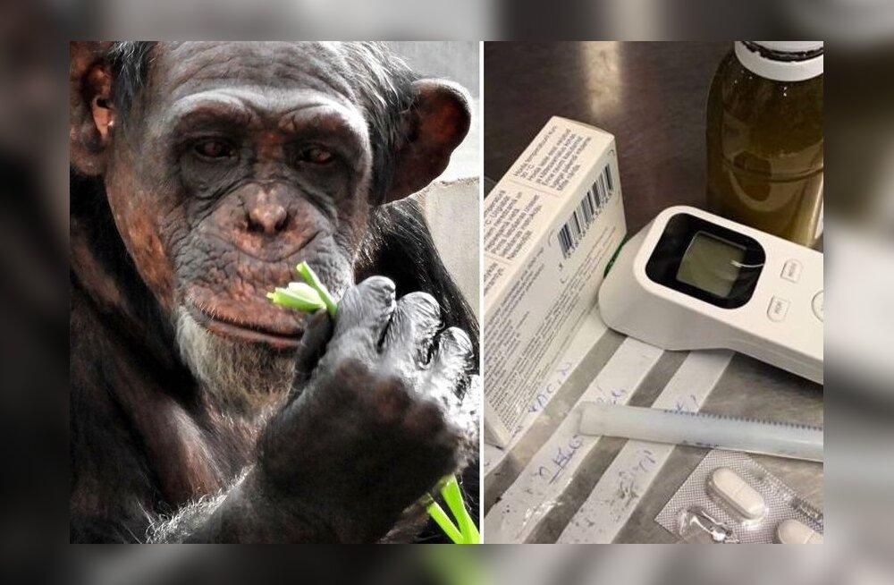 Inimestele pidu, loomale stress: Tallinna loomaaia šimpans Betty haigestus aastavahetuse mürgli tagajärjel