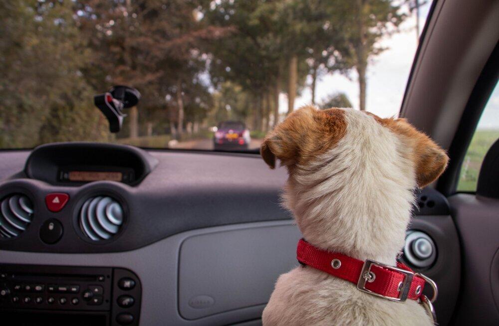 Turvalisus ennekõike! Kaheksa asja, mida silmas pidada, kui lemmikloom on autos