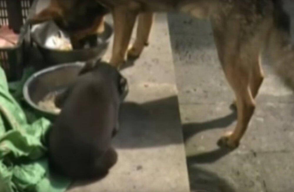 Farmeri kodustatud koerakutsikas osutus hoopis haruldaseks ohustatud loomaks