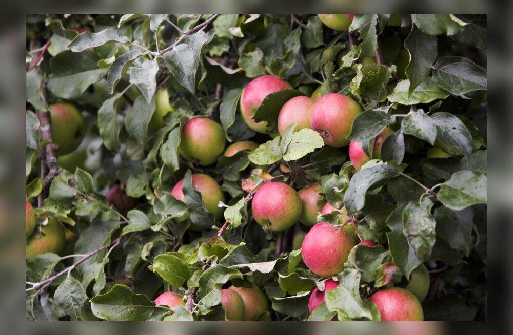 Maaomanik raius õunapuud maha, rentnikust noortalunik võib suure rahalise kahju saada