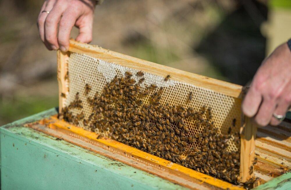 Saaremaal on viimastel nädalatel mesinikelt varastatud üksteist mesilastaru