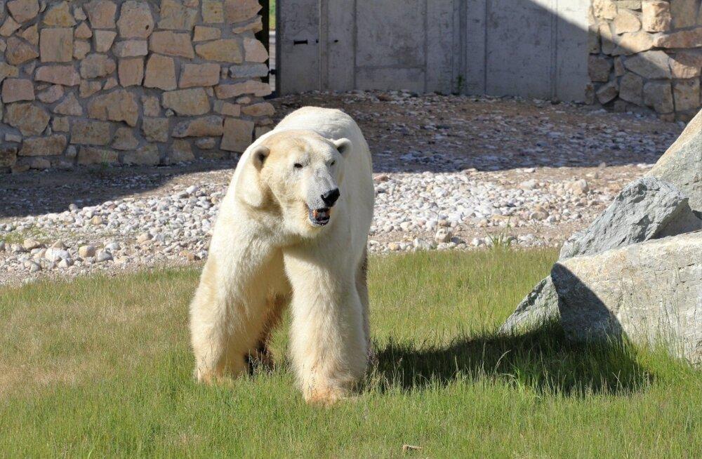 Ушел на радугу... В Таллиннском зоопарке усыпили белого медведя Норда