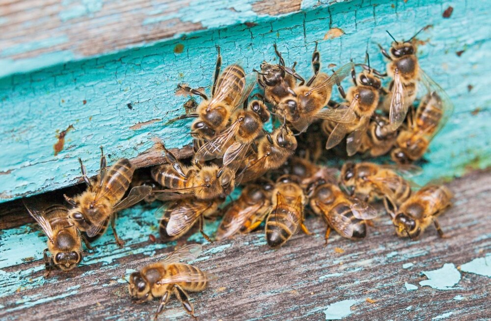 Mesilaste suremine