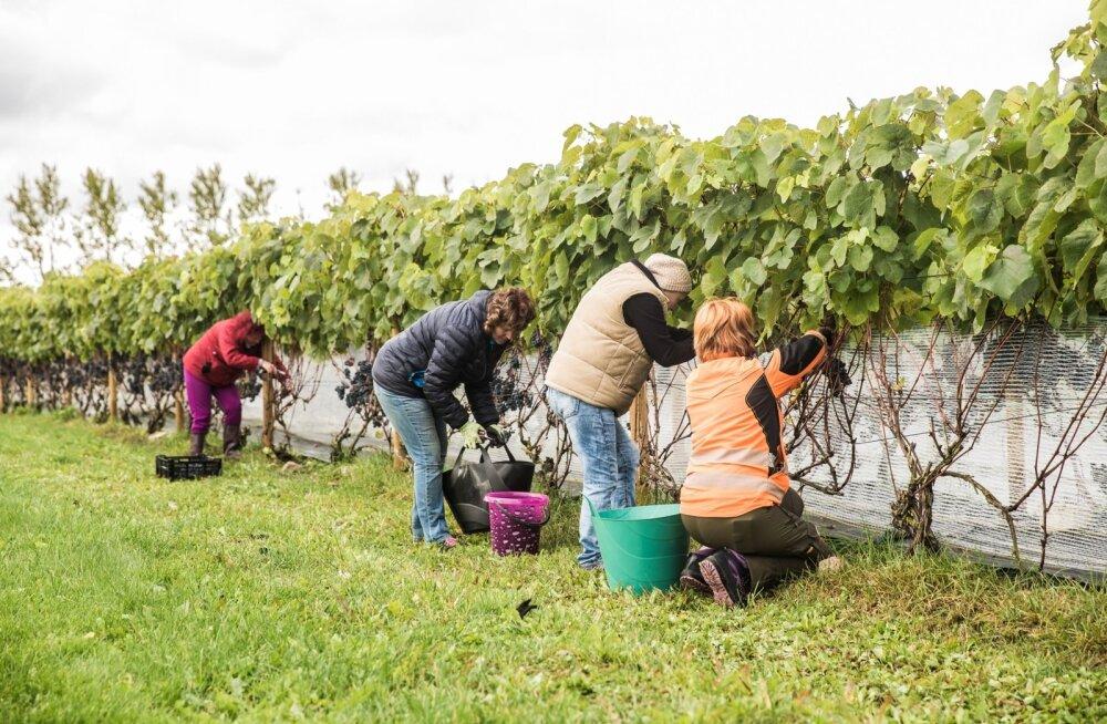 Viinamarjad korjamine Rõhu katsejaamas