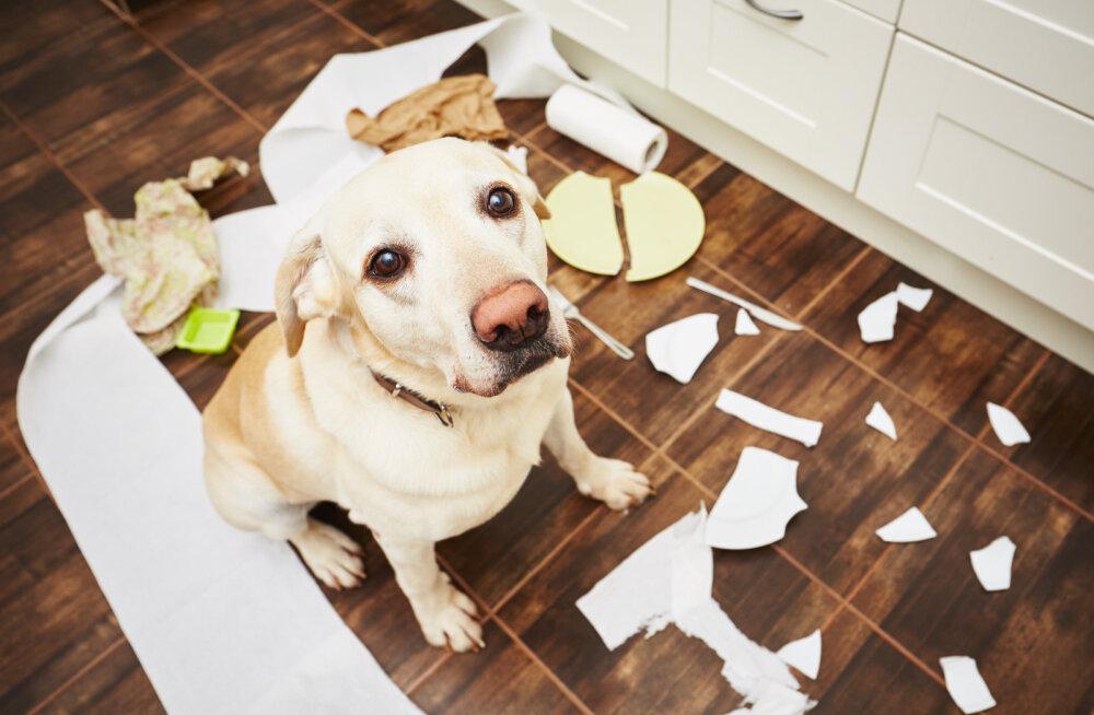 7 asja, mida koerad teha armastavad, kui nad üksinda kodus on