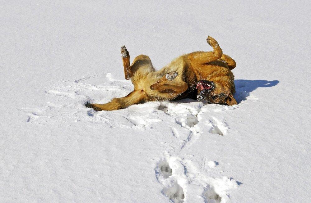 Ära usu: need 6 levinud müüti koerte ja lume kohta ei pea paika