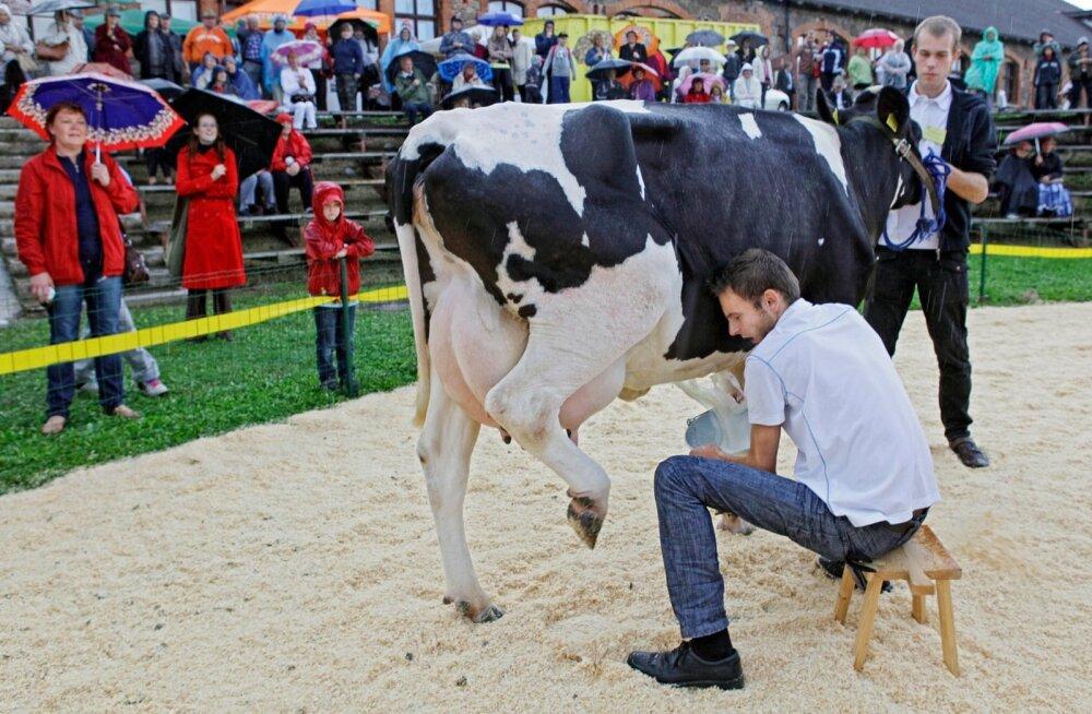 Viimati lüpsti 1991. aastal Eesti lehmadelt miljon tonni piima. Nüüd tundub, et sellise tulemuse saavutamine on kui tõeline vigurlüps.