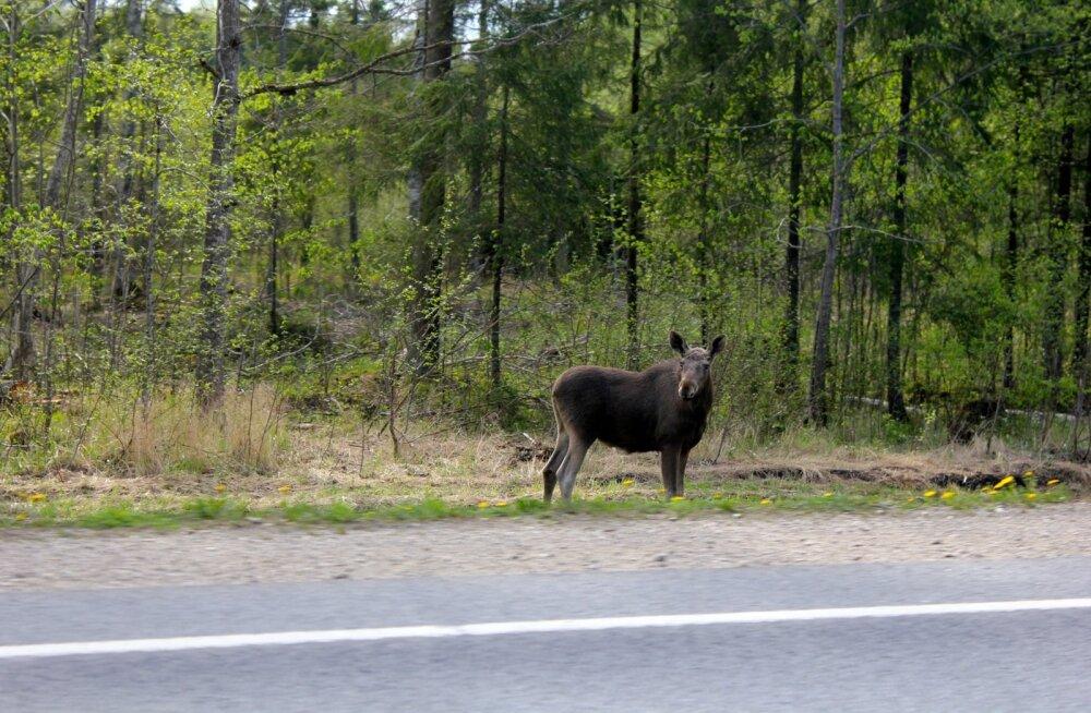 Põder on Eesti suurim imetaja.