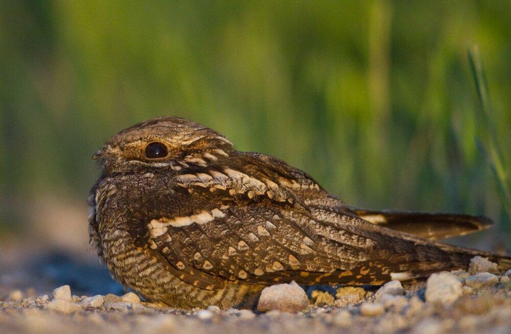 Alanud aasta lind on öösorr ehk päevapetis, lehmalüpsja või kaeratsura