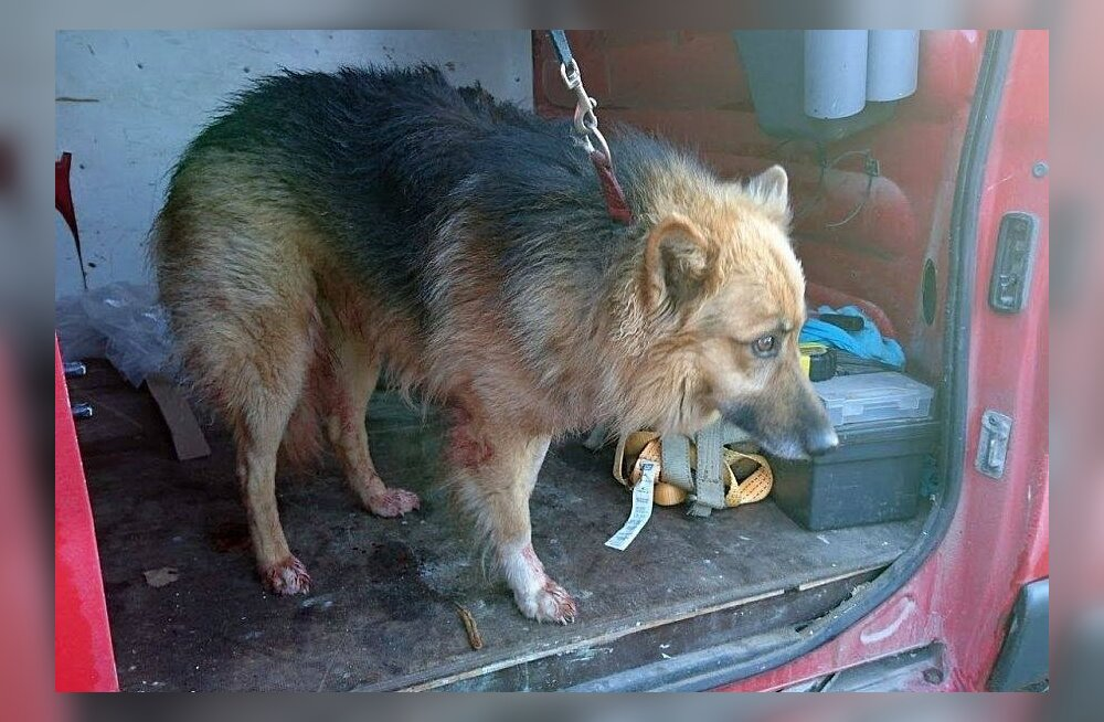 В волости Элва нашли привязанную к дереву раненую собаку — хозяин ни при чем?